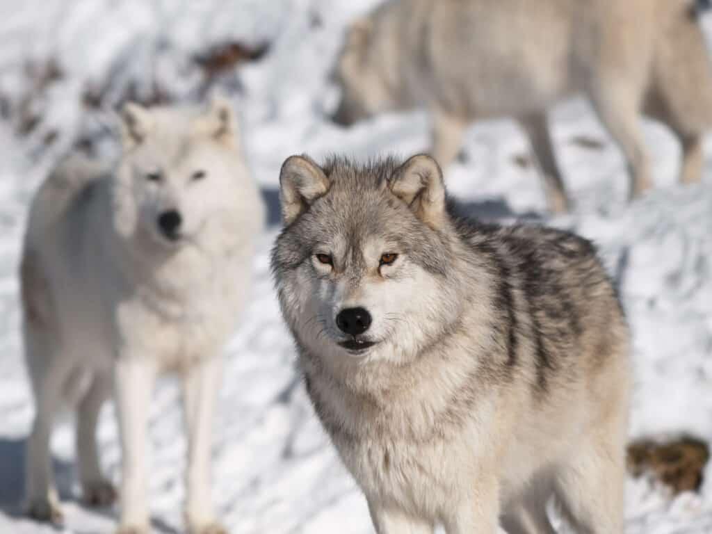 animaux loup arctique